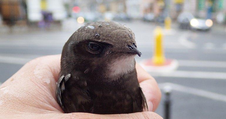 Opinia ornitologiczna, ochrona jerzyków podczas termomodernizacji